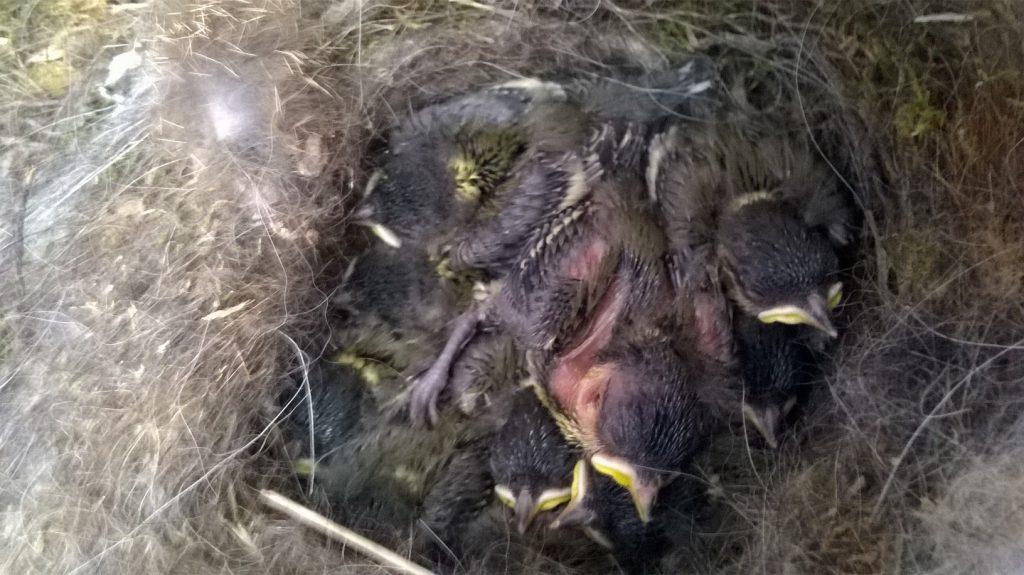 Les oisillons sont nés