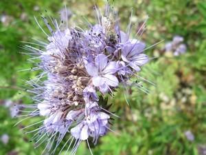 La phacélie, plante régénératrice naturelle des sols